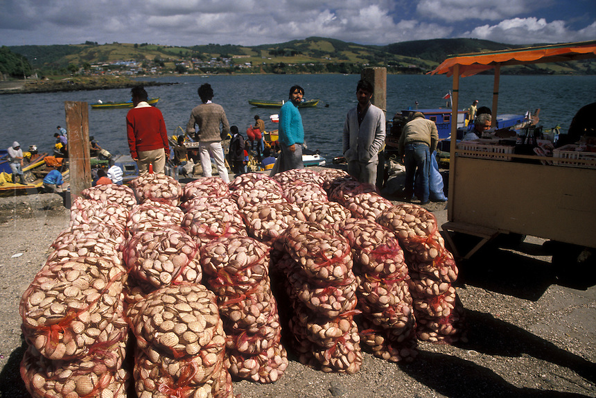 AJ2097, clams, Chile, Chiloe Island, Bags of fresh clams sitting on pier waiting to be transported in the harbor in Ancud on the Pacific Ocean on Chiloe Island in Chile.