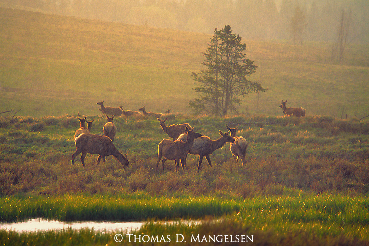 A late afternoon cloud burst, typical of Rocky Mountain summers, drenches a small herd of mostly cow elk in Yellowstone National Park, Wyoming.