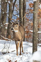 White-tailed fawn following a well-traveled trail deep within the northern forest.