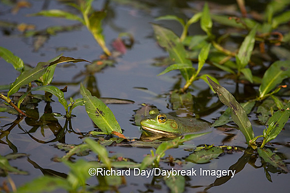 02471-006.02 Bullfrog (Rana catesbeiana) in wetland, Marion Co. IL