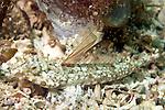 Callionymus bairdi, Lancer dragonet, Florida Keys