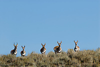 Pronghorn Antelope (Antilocapra americana)--buck with his harem.  Western U.S., fall.