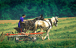 Amish woman driving two team horse with hayrake. Nippenose Valley, PA. 1998