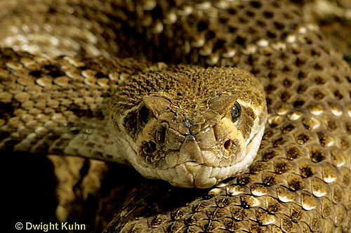 1R15-022z  Western Diamondback Rattlesnake - close-up of head showing heat sensing pits - Crotalus atrox