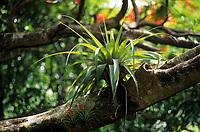 Europe/France/DOM/Antilles/Petites Antilles/Guadeloupe/Env de Bouillante : Forêt tropicale