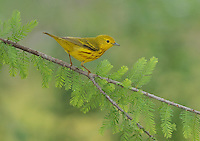 Yellow Warbler (Dendroica petechia), adult perched on Bald cypress branch, Hill Country, Texas, USA