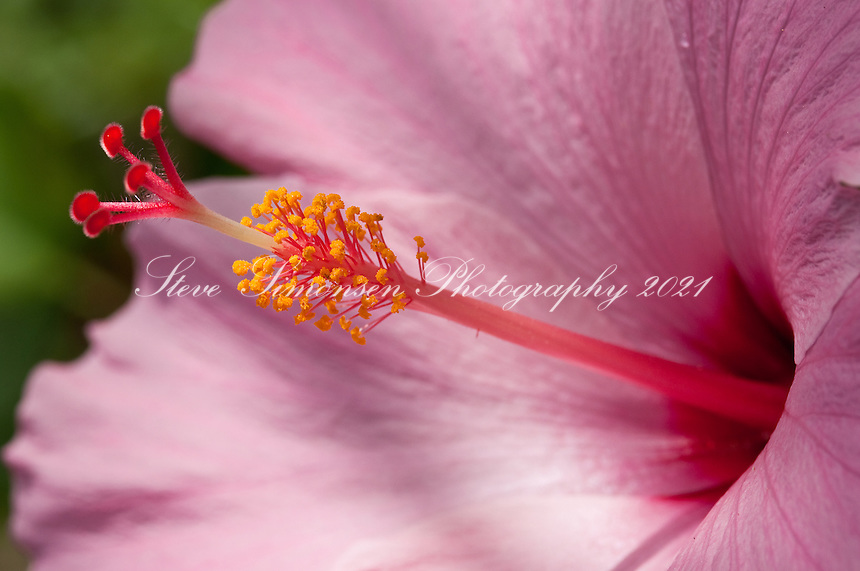 Pink Hibiscus.Virgin Islands