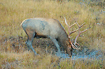 Bull Elk Drinking at Dawn, Lower Mammoth, Yellowstone National Park, Wyoming