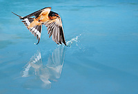 Barn Swallow (Hirundo rustica), adult male bathing in pond, Dinero, Lake Corpus Christi, South Texas, USA