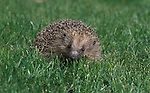 Hedgehog, Erinaceus europeus, on grass.United Kingdom....