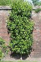 "Pear 'Nouveau Poiteau' trained as a double (""U"") cordon against an old brick wall, mid June."