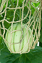 Ripening melon supported in string net, glasshouse, early July.