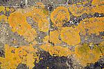 Orange shield lichen biotic weathering of bare stone wall
