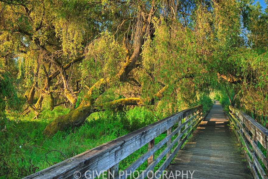 Willows and Boardwalk, Washington