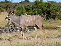 Greater Kudu (Tragelaphus strepsiceros) is a woodland antelope found throughout eastern and southern Africa. Etosha National Park, - Northern Namibia.