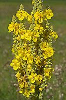 Großblütige Königskerze, Verbascum densiflorum, syn. Verbascum thapsiforme, dense-flowered mullein, large-flowered mullein