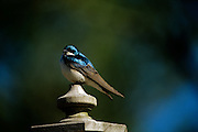 The bright blue colors of a tree swallow perched on top of a bird house feeder in a flower garden.