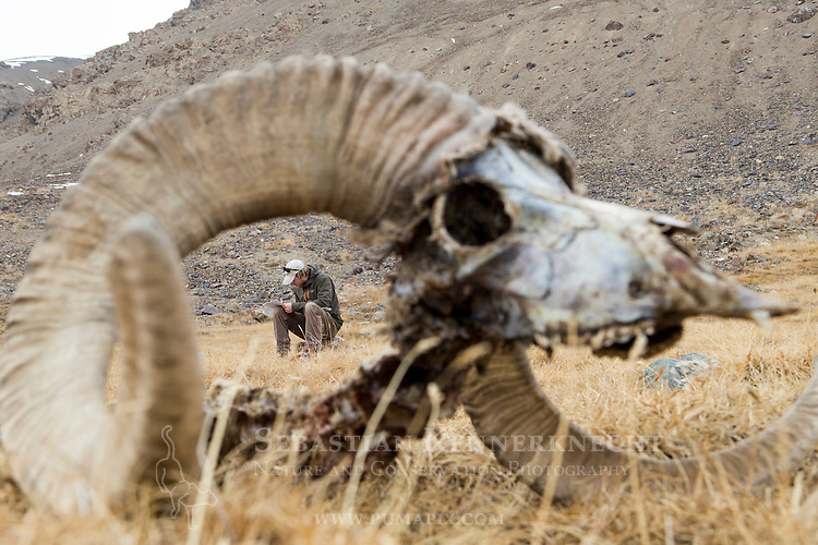 Snow Leopard (Panthera uncia) biologist, David Cooper, taking notes on Argali (Ovis ammon) male killed by snow leopard, Sarychat-Ertash Strict Nature Reserve, Tien Shan Mountains, eastern Kyrgyzstan