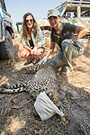 Cheetah (Acinonyx jubatus) biologists, Xia Stevens and Kim Young-Overton, collaring twenty-one month old sub-adult female, Kafue National Park, Zambia