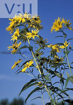 Sawtooth Sunflower (Helianthus grosseserratus), North America.