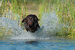 A chocolate Labrador retriever hits the water  during a training session.