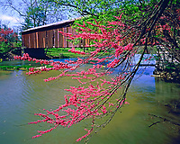 Redbud tree & covered bridge, Cataract Falls State Park, Indiana