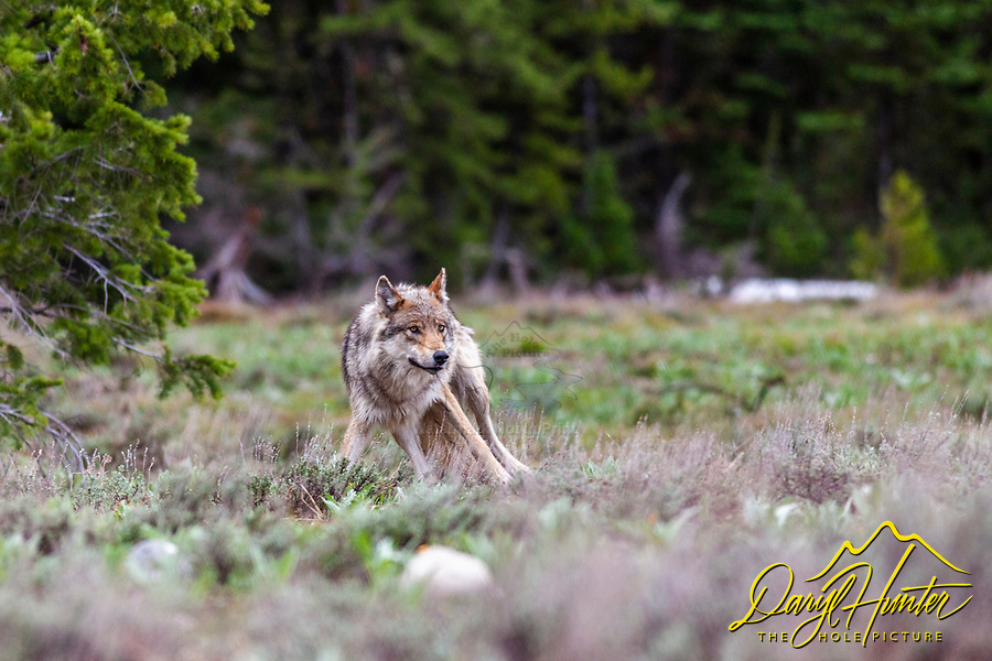 Alert Pacific Creek Grey Wolf, alpha female, Grand Teton National Park. This is one of four wolves that aborted a elk hunt to see if this slow photographer was an easy meal opportunity.<br />
