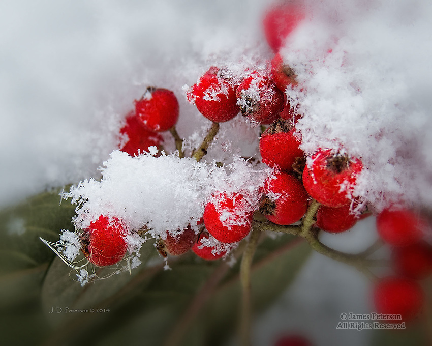Snowy Berries, Sedona, Arizona