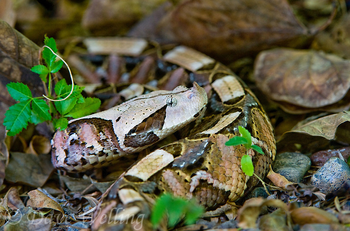 489250008 a captive gaboon viper bitis gabonica sits coiled in leaf litter species is a ground dwelling deadly viper it is the heaviest and has the longest fangs of any viperid and is native to western sub-saharan africa