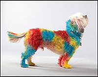 BNPS.co.uk (01202) 558833<br /> Picture: PetPaint/BNPS<br /> <br /> ****Please use full byline****<br /> <br /> Barking mad businessman Abe Geary has unveiled what could be the world's most preposterous pet product - spray-on body paint for dogs.<br /> <br /> Abe says PetPaint can transform pampered pooches into wild animals like tigers and zebras, peace-loving hippies and even hell-raising rockers.<br /> <br /> He dreamed up the daft idea after struggling to find a pet-safe paint with which to daub 'will you marry me' on his own dog to propose to his fiance Anna.<br /> <br /> Abe then spent two years conducting research before launching PetPaint, the world's first pet-safe body paint.<br /> <br /> The product which cam be washed off or left to wear off is completely harmless to dogs and has even been given the thumbs up by animal groups.<br /> <br /> PetPaint comes in spray cans of eight colours, each costing &pound;6, and there are four stencil kits to buy.