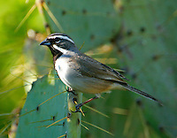 Adult black-throated sparrow on prickly pear cactus