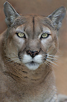 656320013 portrait of a mountain lion felis concolor a wildlife rescue animal
