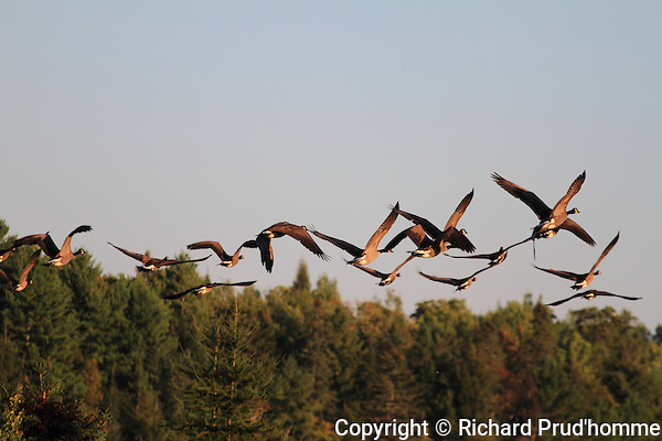 Canadian geese flying over forest