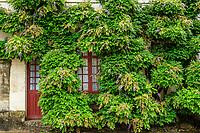 France, Indre-et-Loire (37), Chenonceaux, château et jardins de Chenonceau, glycine sur la Chancellerie