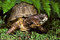 1R40-062x  Eastern Box Turtle - Terrapene carolina