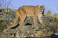 Cougar looking back from a rocky outcrop - CA