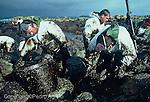 Archivo Analógico. En la imagen voluntarios y pescadores de la zona de Camelle, retiran el chapapote de las rocas vertido por el Presstige