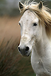 The Camargue horse's profile  - coarse, heavy Oriental-type, with a slightly primitive appearance. This animal has a strong look with a short neck and straight, upright shoulders. Eyes are large and expressive, ears are broad and short with a broad base, neck is short and muscular, deep at the base.