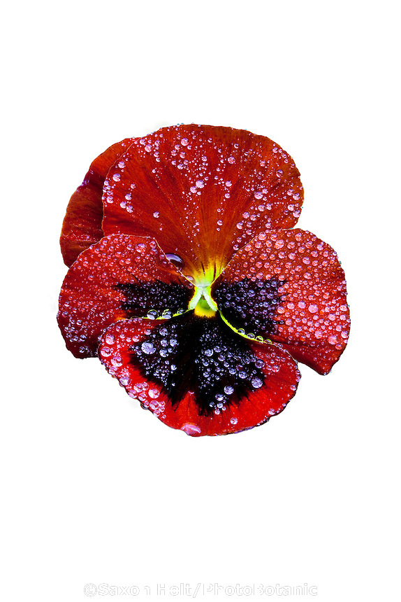 Pansy flower close up with rain drops - Viola Premier Red w Blotch
