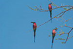 Southern Carmine Bee Eaters with insects for their young