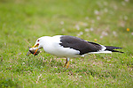 Great Black Backed Gull, Larus marinus, Kangasala, Finland, standing on grass at edge of small lake, feeding on fish, eating