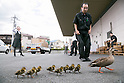 June 29, 2012, Tokyo, Japan - A spot-billed duck and eight ducklings take off on a run before being rounded up at a local printing factory in Tokyo residential area on Friday, June 29, 2012. .The family took a short distance walk from their habitat, a pond at a local plant of electric cables, to the neighboring printing factory. Not knowing where they came from and what to do with the unexpected visitors, the factory staff treated them with care by spraying water before police came to rescue on the tip from the cable company. The siblings were rounded up to be brought back to their nest but their mother flew away. (Photo by AFLO).