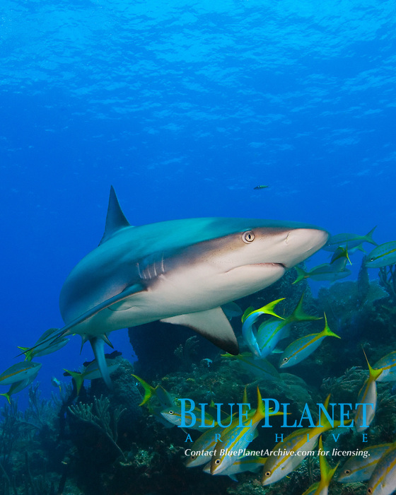 Caribbean Reef Shark, Carcharhinus perezii, and Yellowtail Snappers, Ocyurus chrysurus, over coral reef, West End, Grand Bahamas, Atlantic Ocean