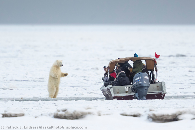 Photographers take pictures of polar bears on the Beaufort Sea, Arctic National Wildlife Refuge, Alaska.