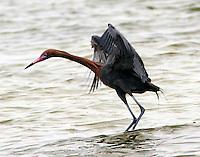 Adult reddish egret in breeding plumage chasing fish
