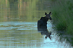 Moose eating submerged grass in the wetlands in Northern Idaho