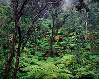 Lush Green Ferns in Rain Forest, Volcanoes National Park, Big Island, Hawaii, USA.