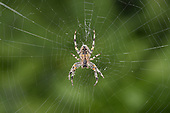 Garden Spider - Araneus diadematus<br /> in web