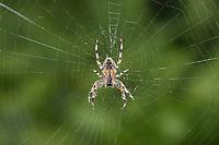 Garden Spider - Araneus diadematus<br /> in web