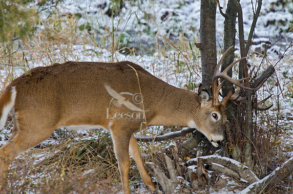 White-tailed Deer buck (Odocoileus virginianus), Western U.S., Late Fall.  Buck is rubbing antlers on small tree.  This serves two purposes.  It helps the buck shed the remaining velvet from his antlers and deposit scent from glands on the head to mark his territory.